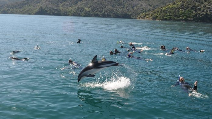 swimming-with-dusky-dolphins